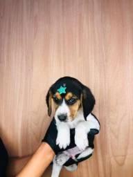 Beagle Machos A pronta entrega.