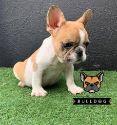 Bulldog frances femea merle pied