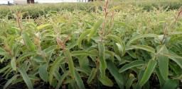 Mudas Eucalipto,Citriodora Cheiroso, Plantamos e Cuidamos