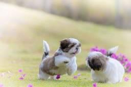 Shih Tzu mini, filhotes fofinhos