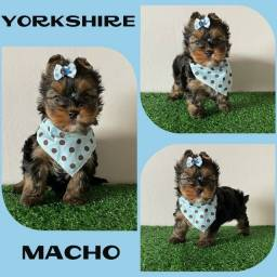 Filhote de Yorkshire Macho aqui no Puppy Stop # Microchipado # Parcelamos em até 12x