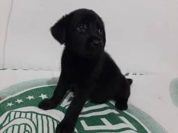 Labrador fêmea pura linda cuida promoção chamaa