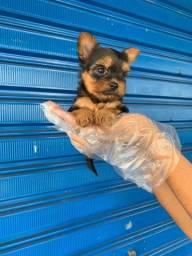 Yorkshire Terrier 7 lojas em SP * Alexandre