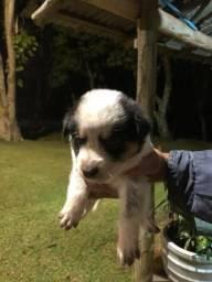 Vende-se filhote border collie com blue Heeler