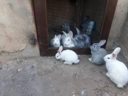 Troco coelhos de rasa por galinha caipira