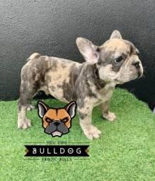 Bulldog Frances Fawn Merle