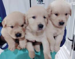 Golden Retriever machos e femea a pronta entrega