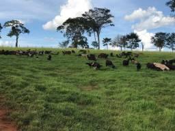 Carneiro / carne de carneiro