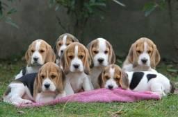 : Filhote tricolor de Beagle para ponta entrega, com pedigree de qualidade. :