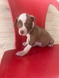 Pitbull Terrier filhotes