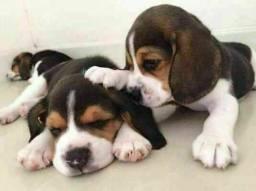 13 Polegadas Beagle Filhotes Pedigree & Garantia de saúde