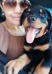 CanilCityPet filhotinhos de Rottweiler vacinados prontos c pagto facilitado