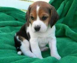 Lindos Beagle Filhotes Mini com Pedigree