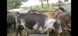 45 Vacas de Leite Girolando Paridas