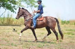 Cobertura ou semem cavalo Mangalarga Marchador