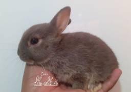 Anão Netherland Dwarf Pet