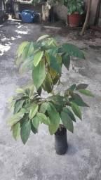 Abiu Roxo planta rara e exótica.