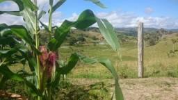 Título do anúncio: Milho Verde (Espiga) - 4 hectares previsto pra julho
