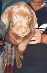 Filhotes lindos Labrador com pedigree