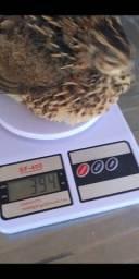 Ovos galados codornas gigantes