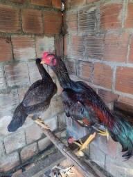 Galo galinha