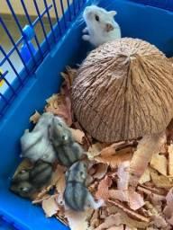 Hamster Anão Russo (Filhotes)