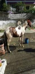 Vendo cavalo pampa homozigoto 4 anos puro de picada vem de zap *