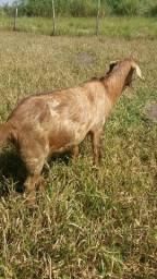Venda de cabra e bode