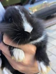 Filhote Mini coelho disponível