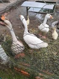 Vendo casal de ganso branco