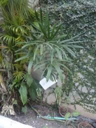 Palmeira Ráfis natural, ideal para interiores (casa / escritório), Foto 45,leia abaixo: