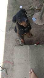Rottweiler= 600 reais ou negociar em algo do meu enteresse.