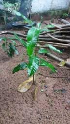 Vende-se mudas de mangueira (germinada)