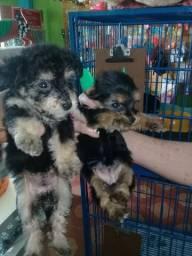 Filhote de yorkshire com poodle com 40 dias de nascimento