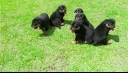 Canil Euro filhotes direto do criadouro especialista na raça Rottweiler