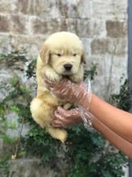 Golden,filhotes a pronta entrega!