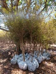 Planta pitanga