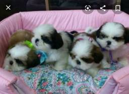 Lindos shitzu mini kit filhotes grátis