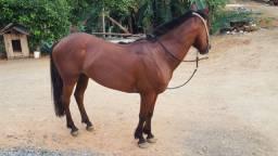 Égua crioula boua de laço