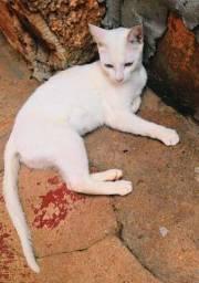 Doação de gata branca já castrada.
