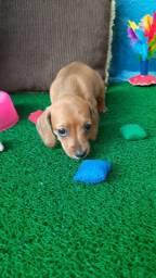 Filhotes de mini salsicha e beagle
