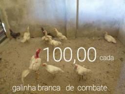 GALINHAS RRARAS  DE RAÇA