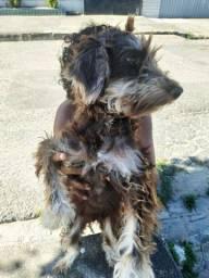 Adoção cachorrinha raciada com poodle