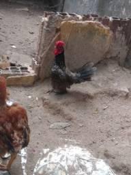 Casal galinha sedosa