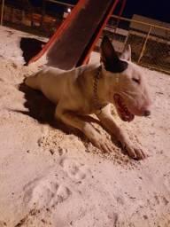 Bull terrier inglês daw face