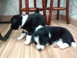 Border Collie blue merle/red merle/preto e branco/chocolate