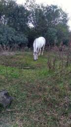 Égua domada