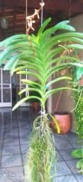 5 orquídeas Vanda ADULTA
