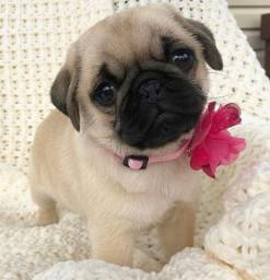 Maravilhosos filhotes de Pug
