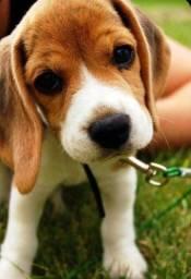Beagle fêmea tricolor disponível, venha conferir!